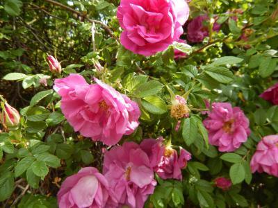 Róza pomarszczona.jpeg