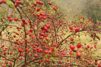 Owoce dzikiej róży.jpeg